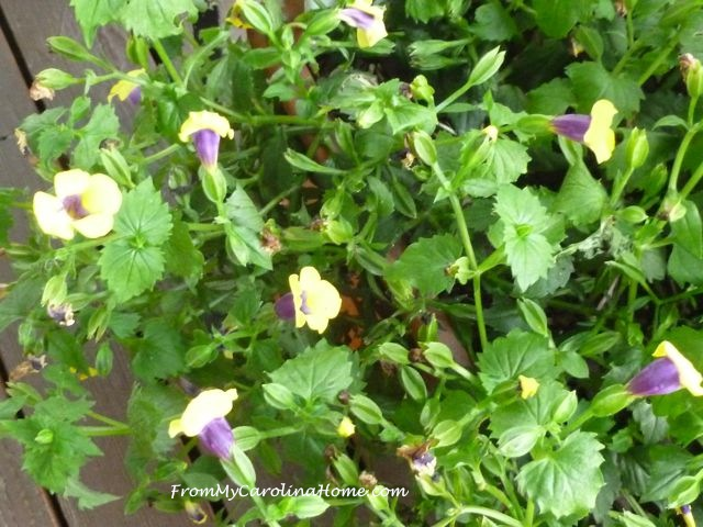 Late August Garden - yellow torenia