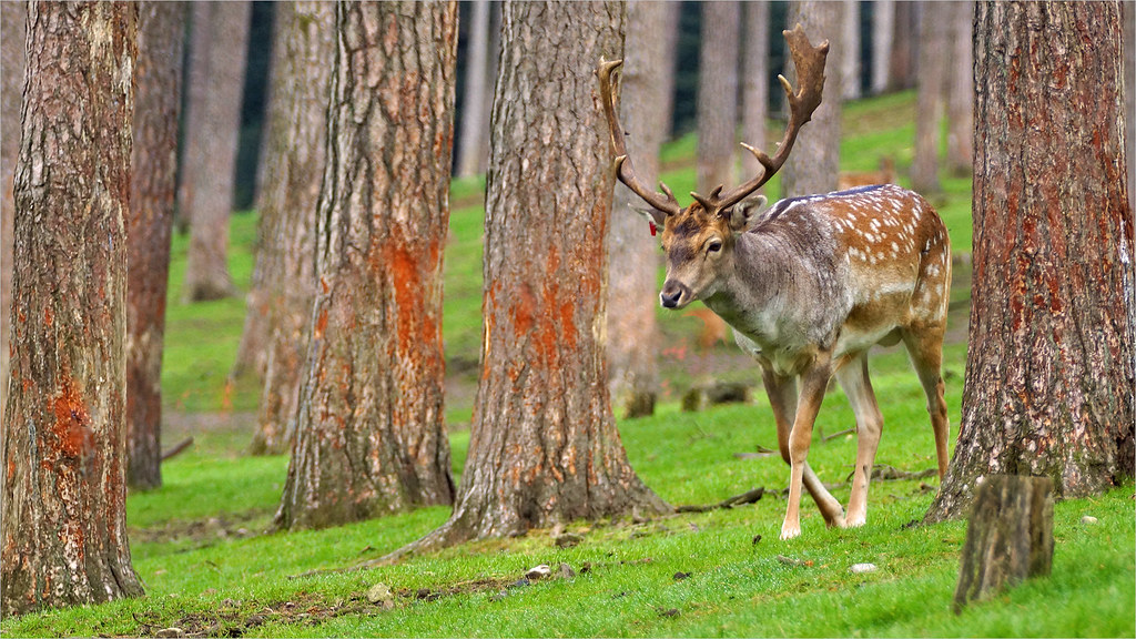 Fallow Deer Stag in Rutting Season