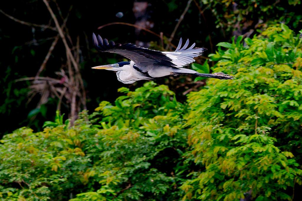Cocoi Heron (Ardea cocoi)_85