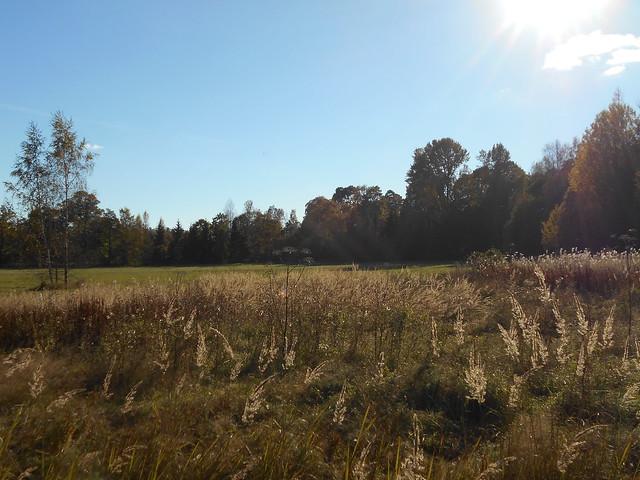 Niittynäkymiä syksyllä; kuihtunutta niittyä auringonpaisteessa 12.10.2015 Espoo Leppävaara