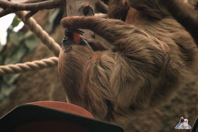 Eisbär Fiete im Zoo Rostock 17.10.2015  0157