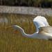 Egret Flight by ken.krach (kjkmep)