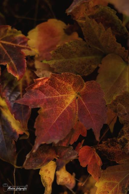 Leaves - fulles