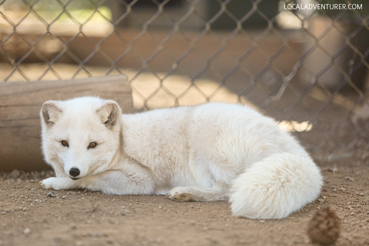 Meet the Arctic Fox Ambassadors of Wild Wonders Bonsall CA.