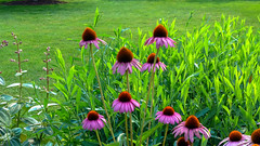 Coneflowers Sparkle in the Walled Garden