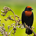 Chestnut-capped Blackbird by Thelma Gatuzzo