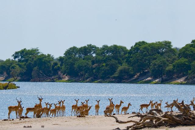 Alert impala