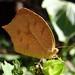 Tailed Orange