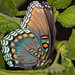 Red-Spotted Purple Butterfly by Juggler Jim