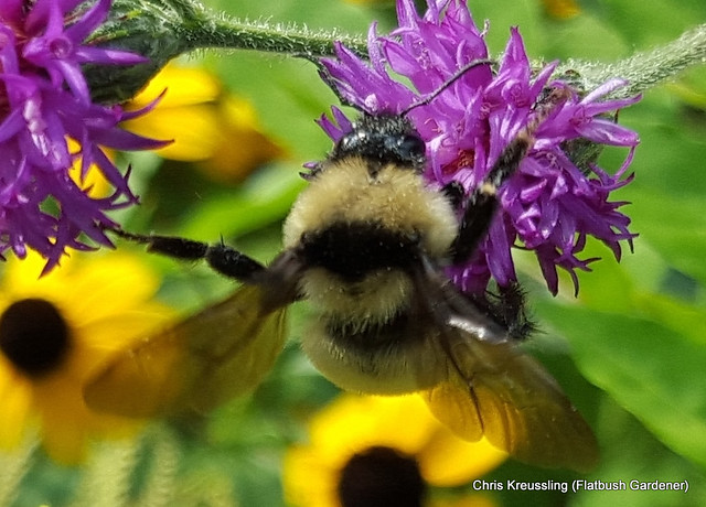 Bombus fervidus, golden northern bumblebee