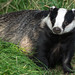 Eurasian Badger - Photo (c) hehaden (away for a week), some rights reserved (CC BY-NC)