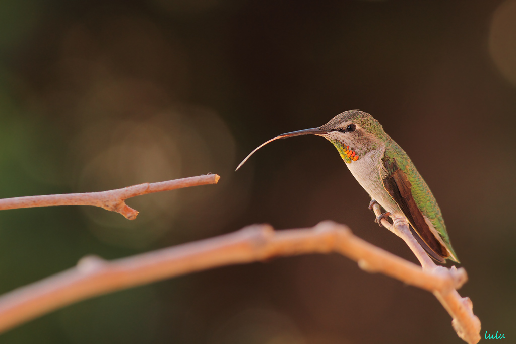 Anna's Hummingbird  tongue 102015