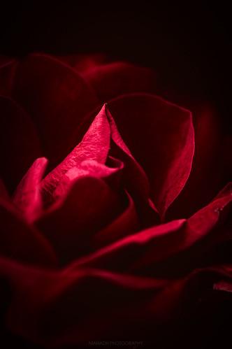 Red rose // 06 11 15