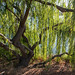 Small photo of Backlit Tree at Almaden Lake