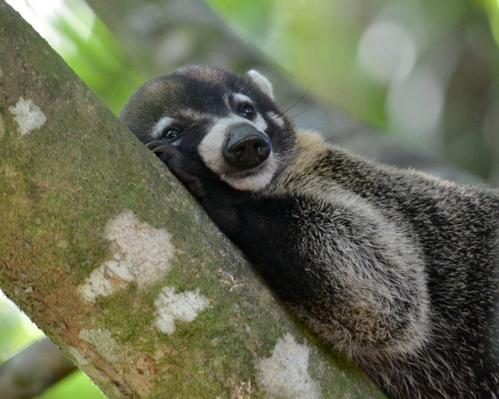 Coati Relaxing