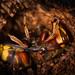 Hornet (Vespa crabro) settled down for winter (308/365) by Ian Redding