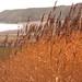 Golden Reeds by mermaidreborn