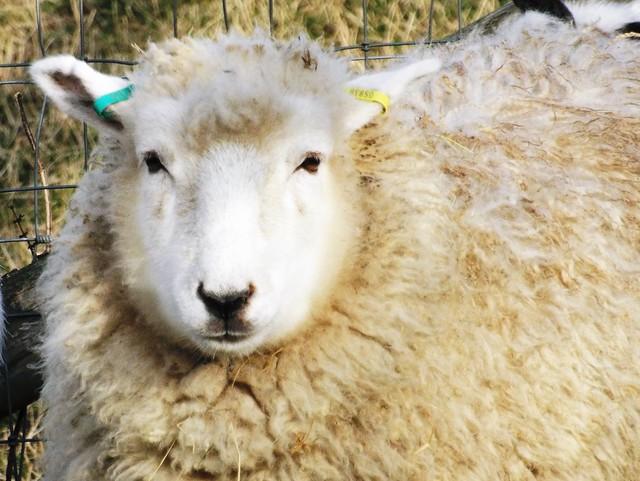 Wool is warm ... ☺  Explore, Fujifilm FinePix S8500