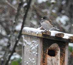 Snowbirds-3914