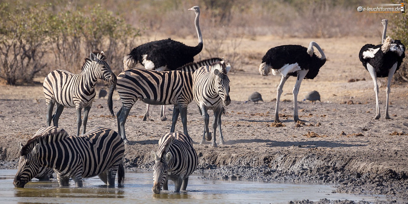 Waterhole visiting