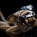 European house cricket - Macro by jss98photography