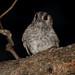Small photo of Australian Owlet Nightjar (Aegotheles cristatus)