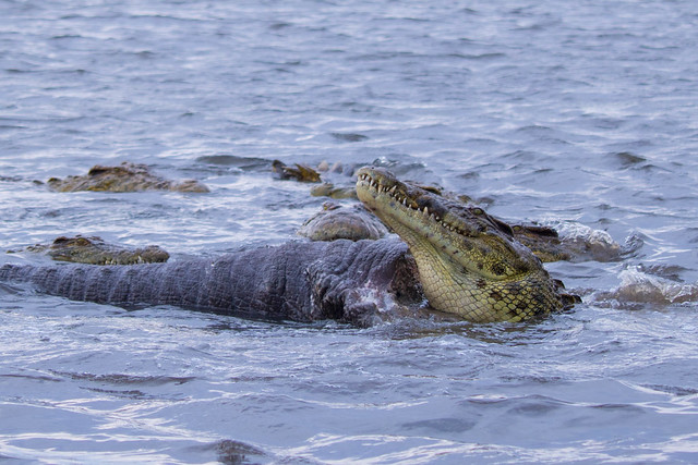 Crocodiles eating a trunk