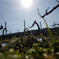 #Blizzard de #Soleil ici  😁🌞#Printemps #Spring in #Champagne #Pruning Poke @tarlantmel and #Bowler team ;-) 😚 #Champagne #Tarlant #Vigneron #depuis1687  #nofilter #igersreims - Photo of Troissy