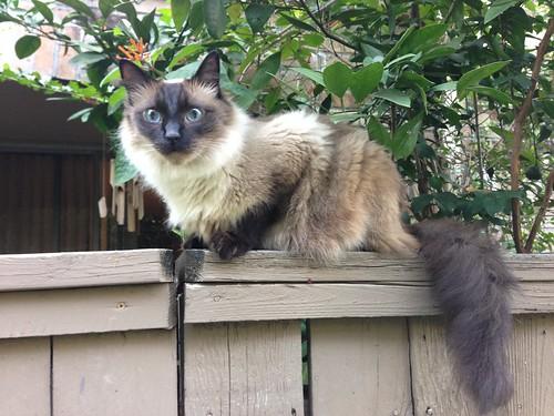 Fluffy big neighbor cat