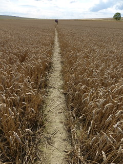 Crossing the cornfield