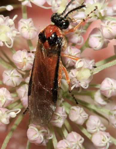 Turnip Sawfly 3049
