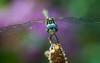 Dragonfly - Nikon D200 + Vivitar 90mm F2.5 Macro by Phet Live