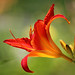 Red Daylily (#5 on Explore Sept. 8, 2015) by lfeng1014