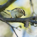 Yellow-browed Warbler  /Tajgasångare