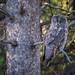 Great Gray Owl by tylerareber