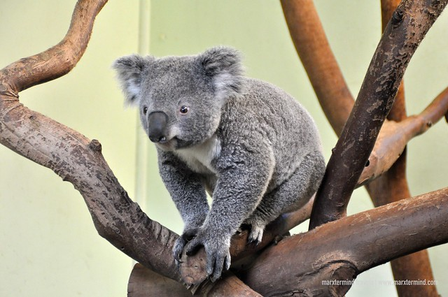 A Cute Koala at Featherdale Wildlife Park