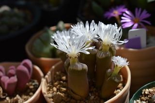 DSC_0364 Ophthalmophyllum triebneri オフタルモフィルム 風琴玉(=Conophytum friedrichiae)