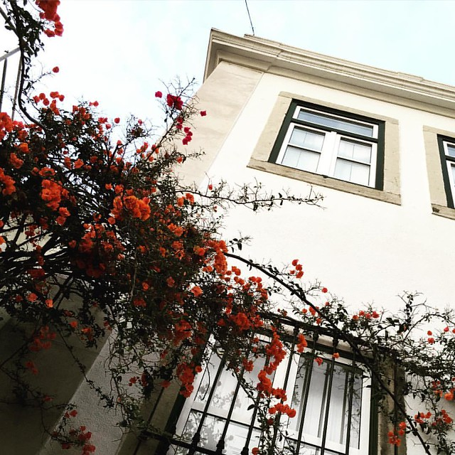 Is this one Bougainville plant? Or two different, intertwined plants? I spotted flowers in two colors and marveled at the show nature puts on for us. #Lisboa #Lisbon #artistswhowalk