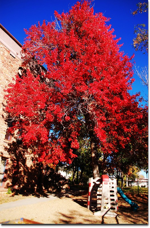 Red Maple in Mapleton, Boulder 12