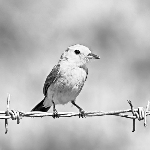 wild portrait bird nature beautiful blackwhite wings wire background wildlife birding aves perched caribbean avifauna westindies trinidadandtobago birdonwire piedwatertyrant