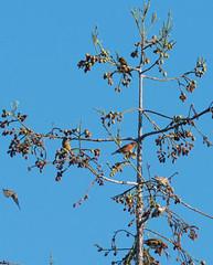 Red Crossbill (Loxia curvirostra)