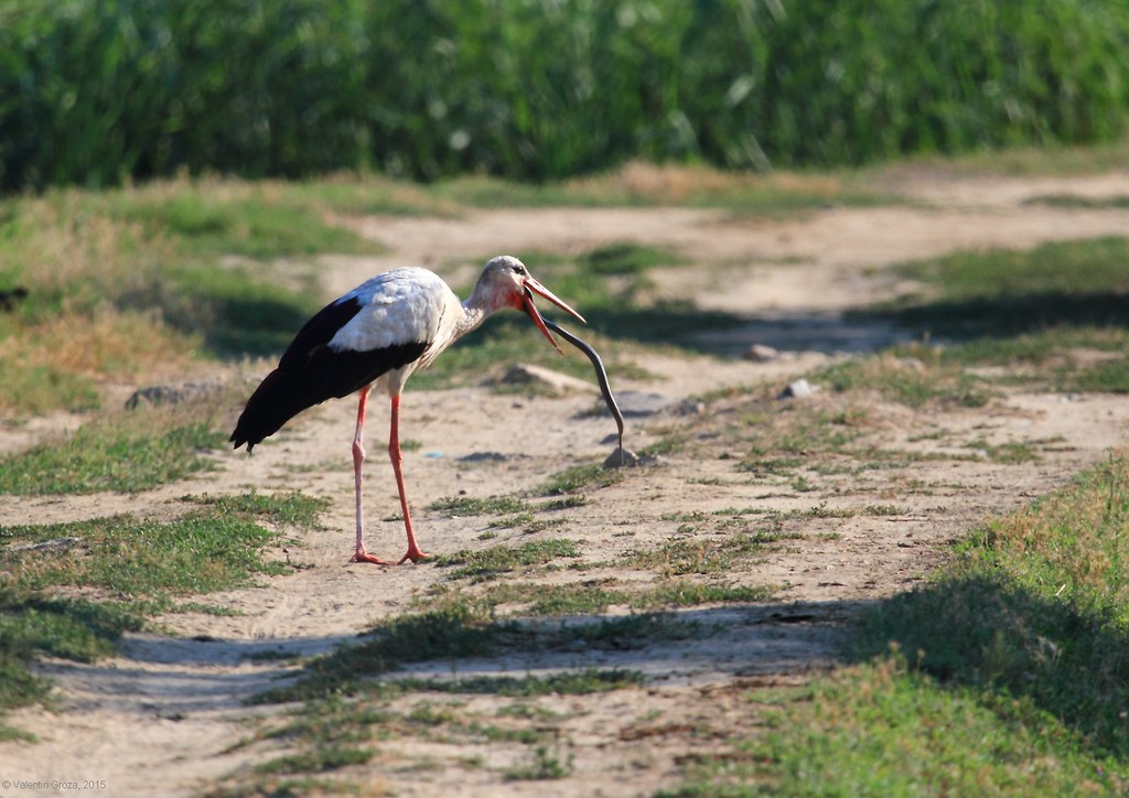 7_Stork with snake