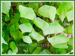 Adiantum trapeziforme (Giant/Diamond Maidenhair, Trapezoidal Maidenhair) with trapezoidal-shaped leaflets, July 9, 2014