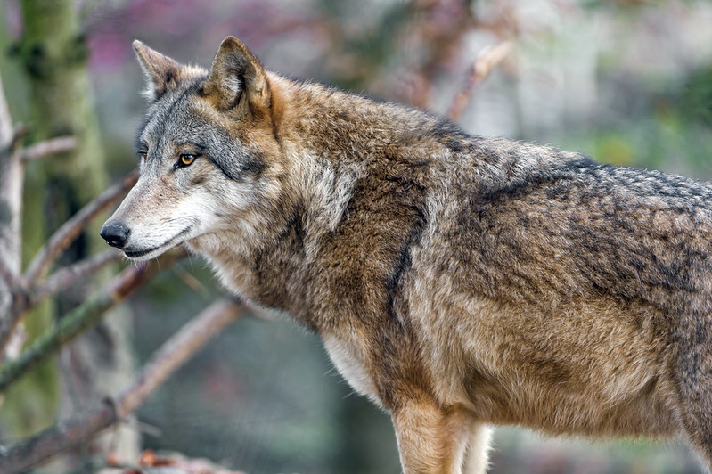 Attentive standing wolf