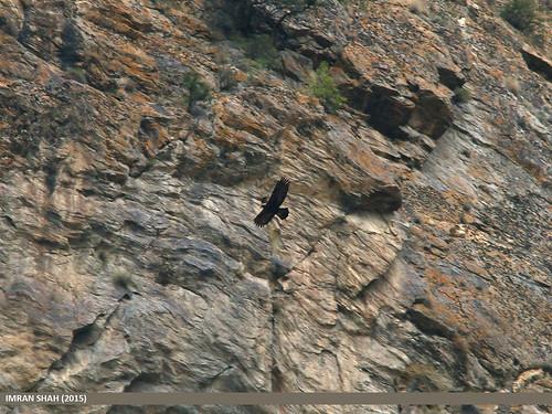 pakistan birds fauna canon geotagged wings wildlife feathers sigma tags location species category avifauna gilgit aquilachrysaetos goldeneagleaquilachrysaetos gilgitbaltistan sigma150500mmf563apodgoshsm imranshah canoneos70d jutial gilgit2