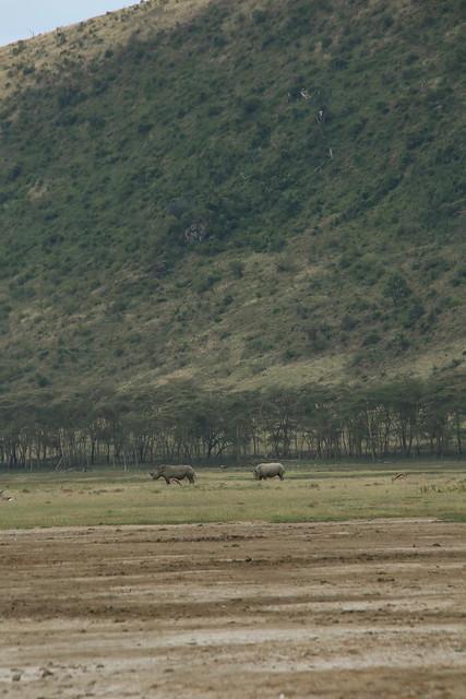 Six white rhino