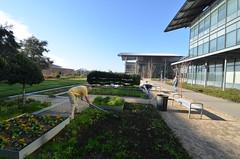 Volunteers working in the UC Davis Good Life Garden
