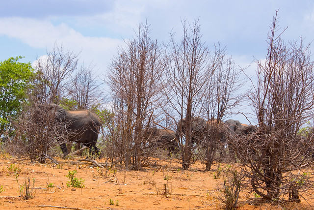 Elephants in the brush