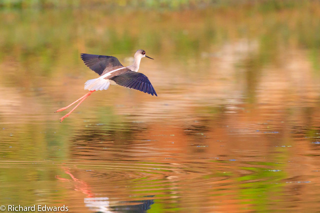 Black-winged Stilt- *Explore, Canon EOS 5DS R, Canon EF 400mm f/4 DO IS II USM + 1.4x