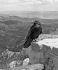Poe the Raven, Bryce Canyon
